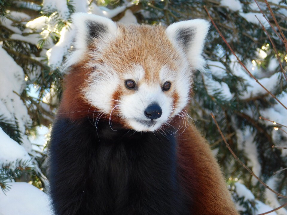 Winter Zoo - Red Panda