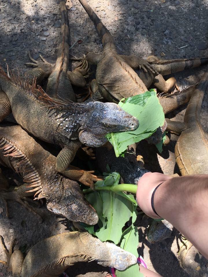 Roatan Bay Iguanas