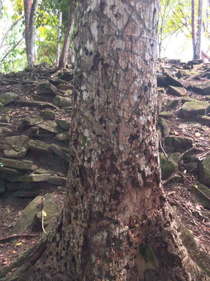 Belize Rubber Tree