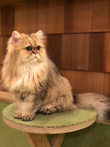 Japan - Akihabara Cat Cafe