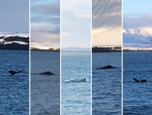 Whale Watching in Iceland Collage