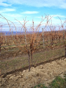 Wagner Valley Grape Vines
