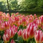 オランダ旅行記14~春の期間限定開園のキューケンホフ公園へ