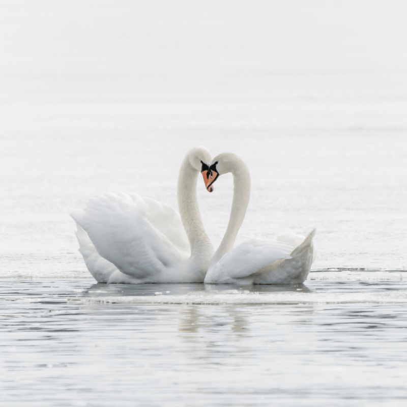 Love - two swans