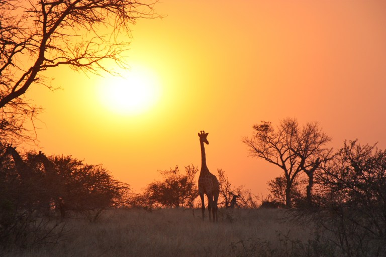 giraffe-1042618
