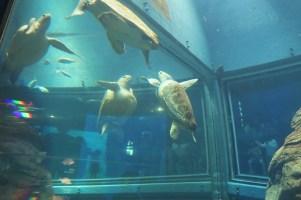 Osaka-Aquarium-Kaiyukan-sea-turtle