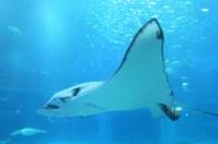 Osaka-Aquarium-Kaiyukan-stringray