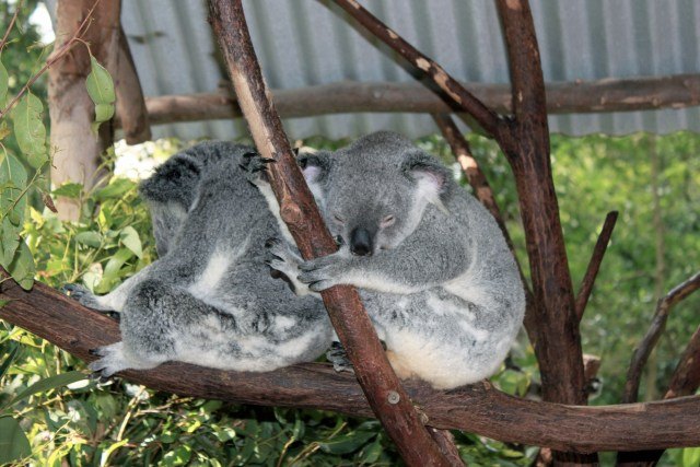 Top Zoo: Visiting Lone Pine Koala Sanctuary in Australia