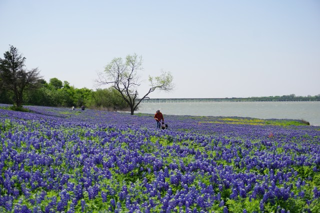 A Wildflower Lover's Dream: the Bluebonnet Trails in Ennis, Texas