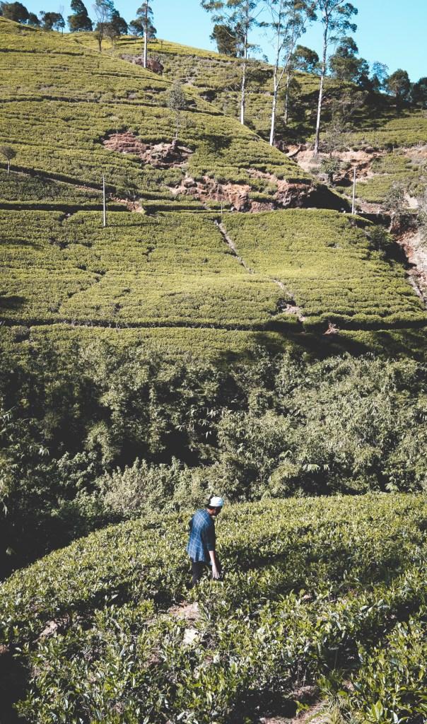 Things to do in Nuwara Eliya - Wanderlustgary.com
