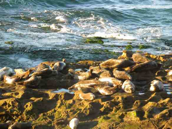 Seals of La Jolla