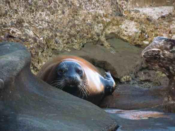Seal of La Jolla, California
