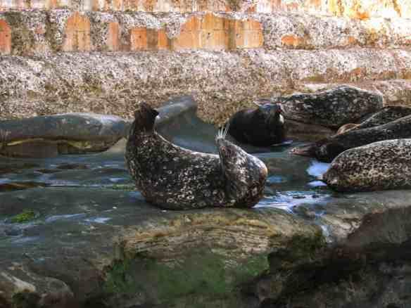 Seals at La Jolla