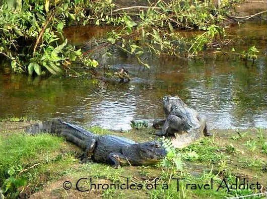 Dare to Swim with the Caiman Crocodiles in the Pantanal? experience in Brazil