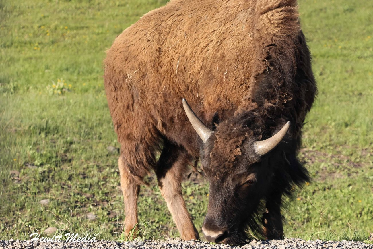 Wanderlust Travel & Photos - National Parks – Yellowstone and Grand ...