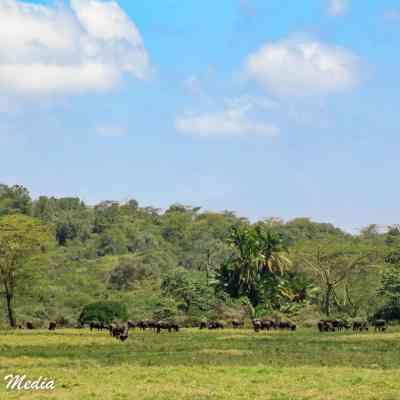 Buffalo in the distance while on walking safari