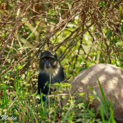 Colobus Monkey in Arusha National Park