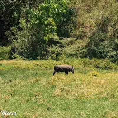 Seeing warthogs while on walking safari