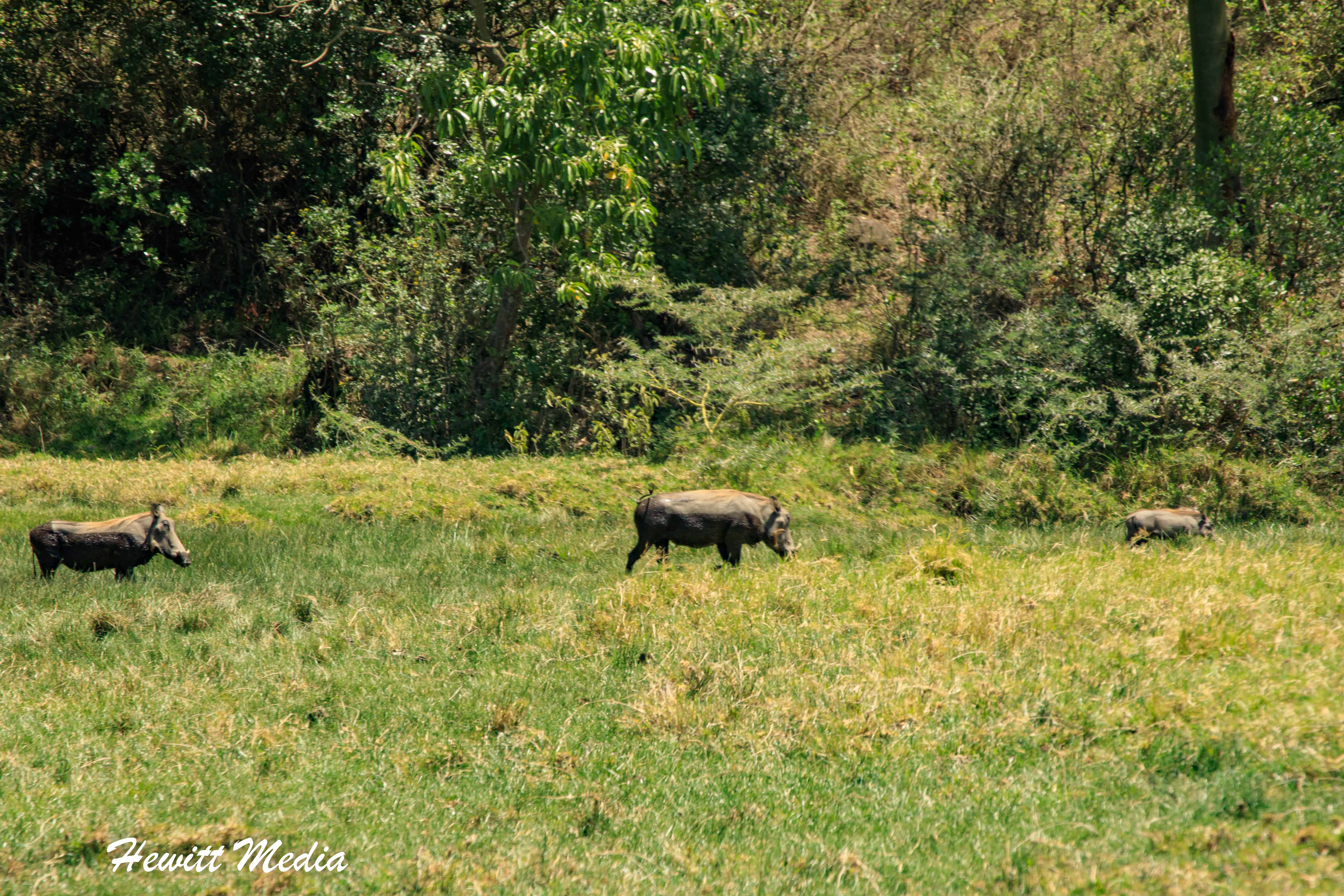 Seeing warthogs while on walking safari