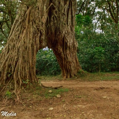 Driving thru the Fig Tree Arch in Arusha National Park