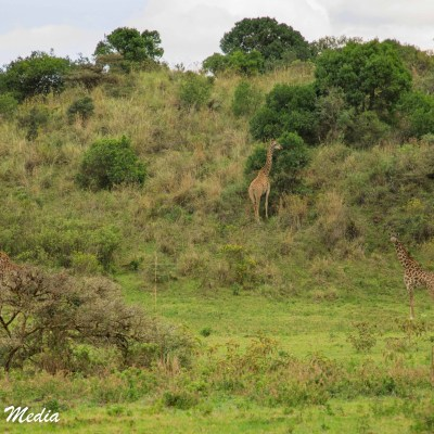 Giraffe feed inside Arusha National Park