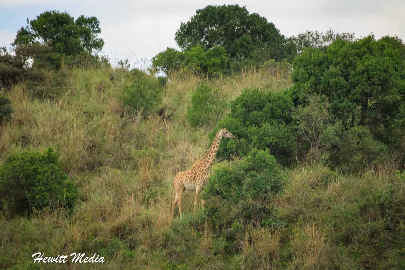 Giraffe feed inside Arusha National Park