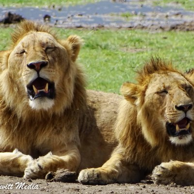 Two male lions rest in the heat inside the Ngorongoro Crater