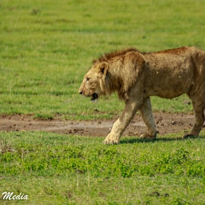 A lion looks for shade inside the Ngorongoro Crater