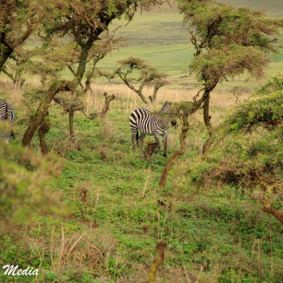 Zebra feed as we descended into the Ngorongoro Crater