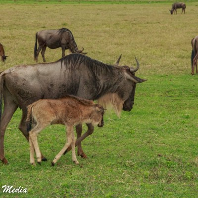 A baby wildebeest inside the Ngorongoro Crater