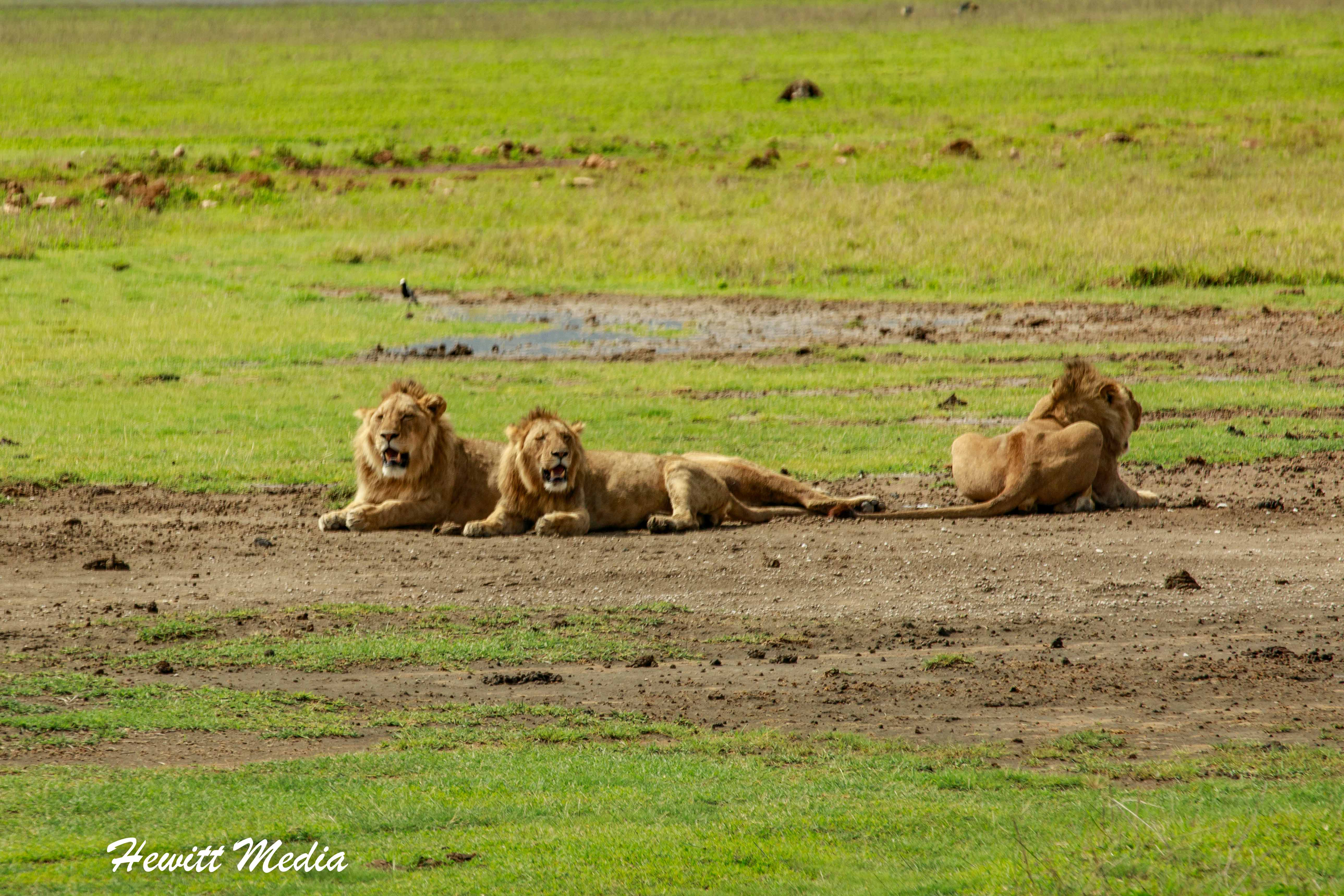 Lions inside the Ngorongoro Crater
