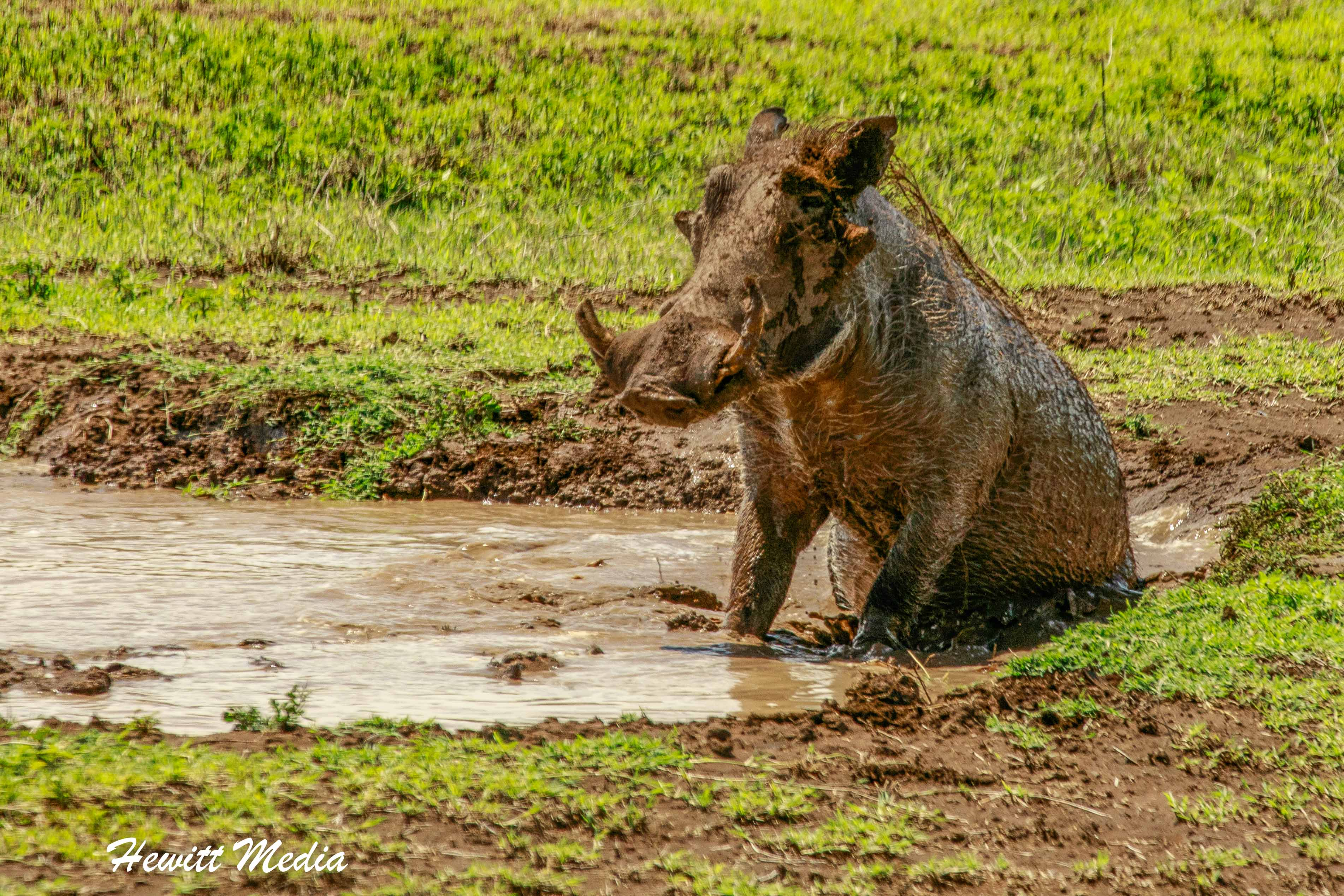 A warthog cooling off inside the Ngorongoro Crater