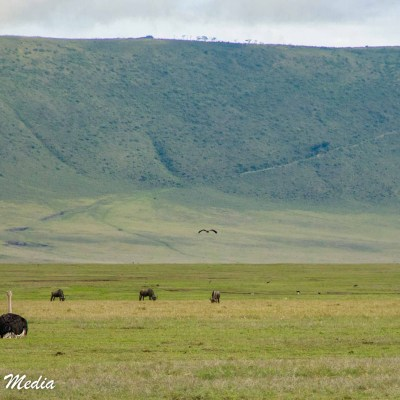 Ostrich inside the Ngorongoro crater