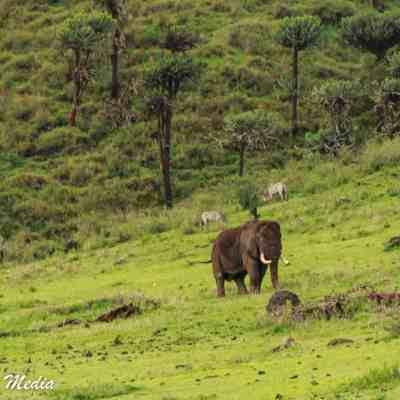 A bull elephant feeds inside the Ngorongoro Crater