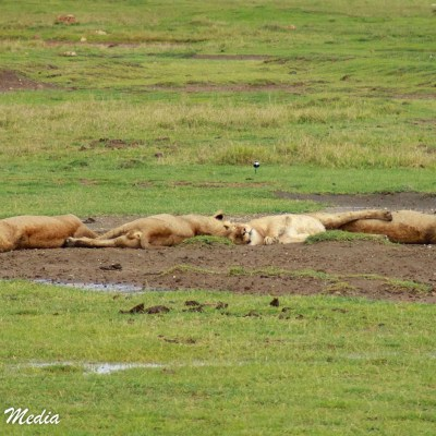 Lions sleeping inside the Ngorongoro Crater