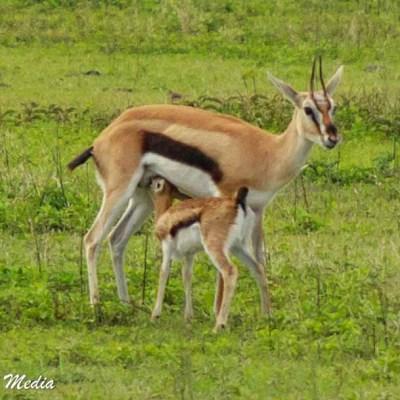 A baby antelope feeding inside the Ngorongoro Crater