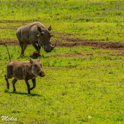 Two warthogs inside the Ngorongoro Crater