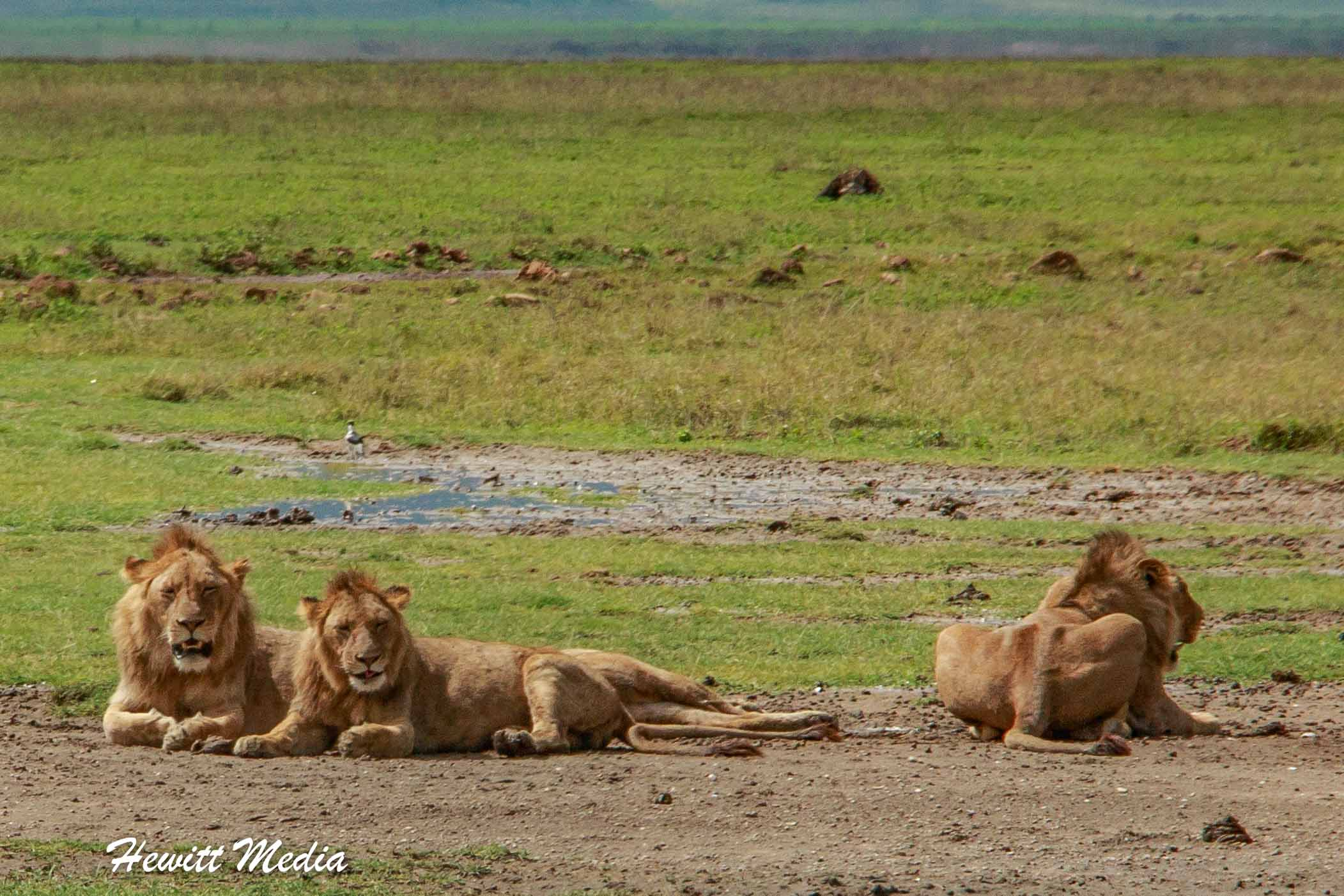 Lions resting inside the Ngorongoro Crater