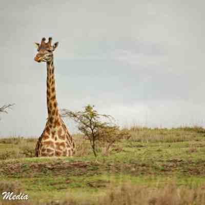 Giraffe in the Serengeti National Park