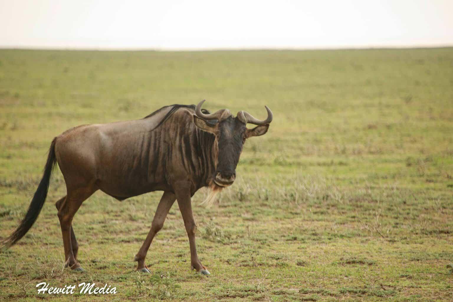 Wildebeest in the Serengeti National Park