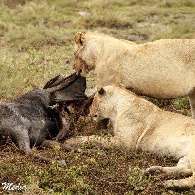 Lions feeding on wildebeest in the Serengeti National Park