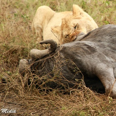 A lion feeds on a wildebeest in the Serengeti National Park