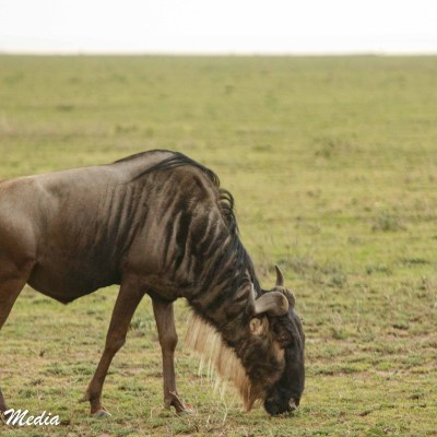 Wildebeest grazing in the Serengeti National Park