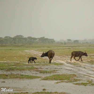 Cape Buffalo navigating the wet Ndutu Plains in the Serengeti National Park