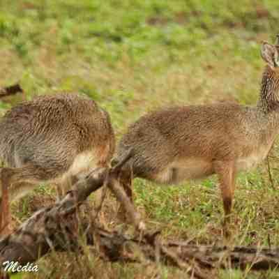 Two Dik Diks in the Serengeti National Park