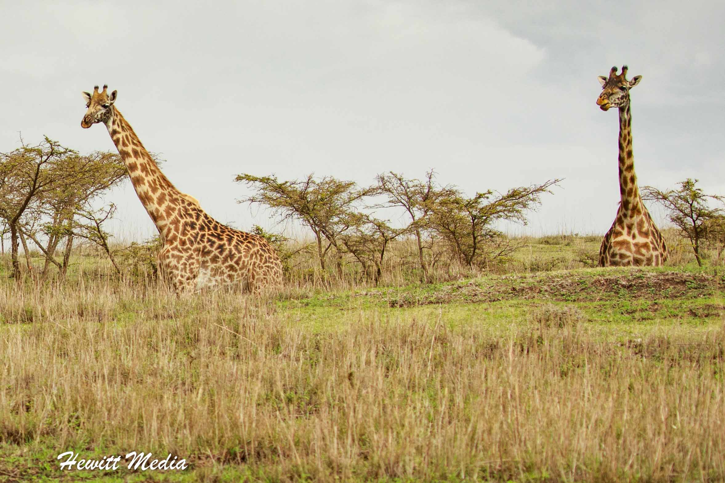 Giraffe feeding in the Serengeti National Park