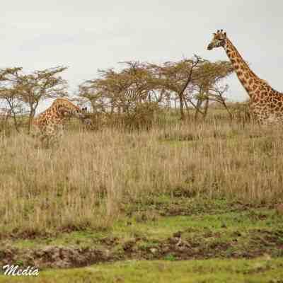 Giraffes feeding in the Serengeti National Park