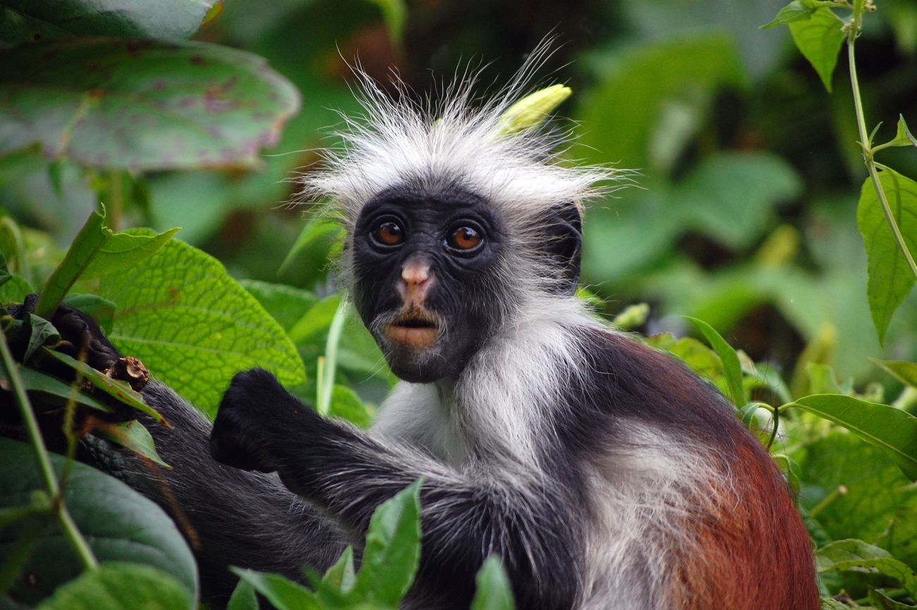 Zanzibar_Red_Colobus_Monkey.jpg