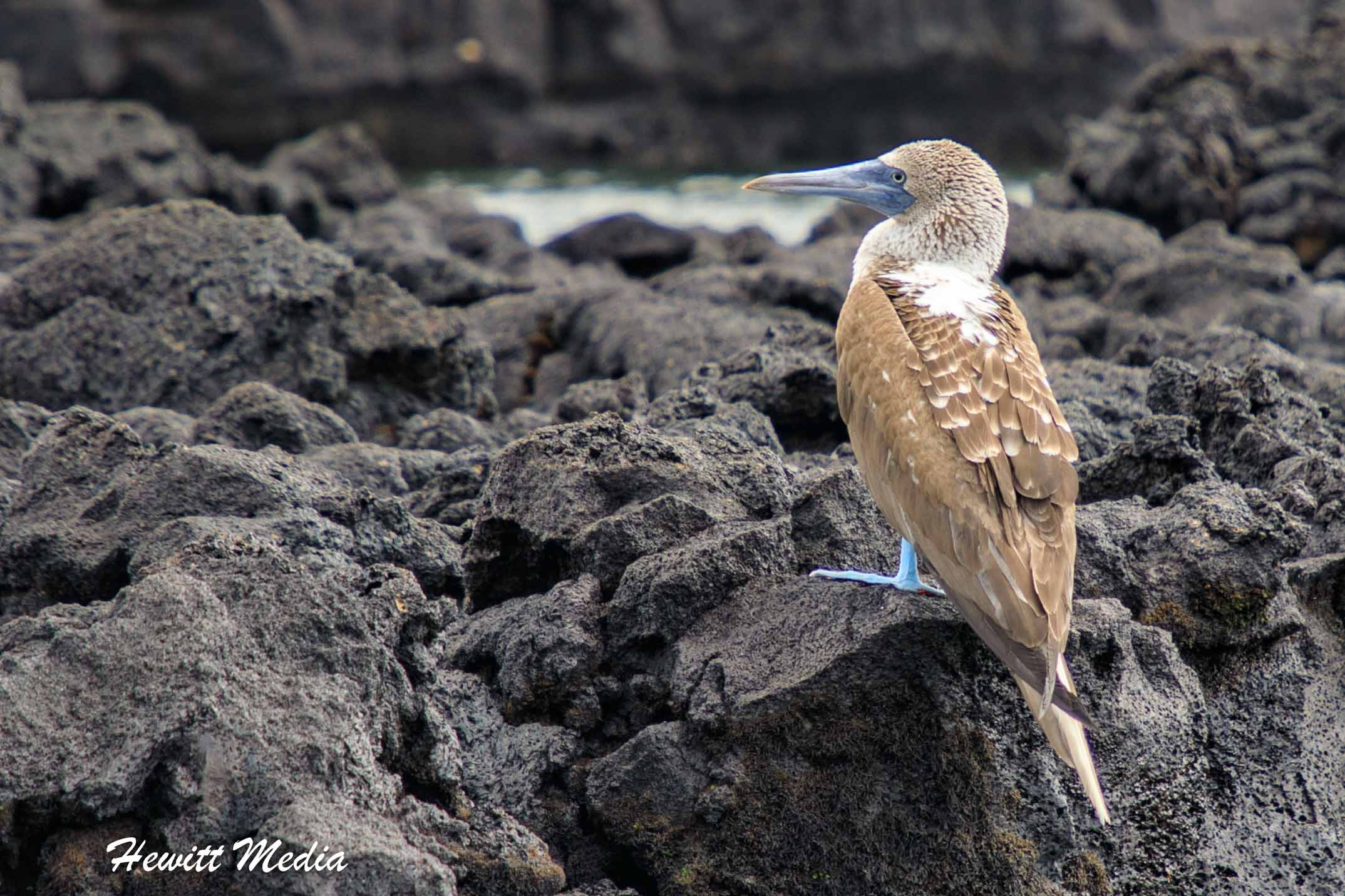 Blue-Footed Booby rests on the rocks on the coast.