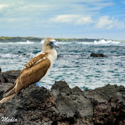 Blue-Footed Booby off of Isabela Island.